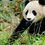 Smart-Panda-san-diego-zoo-panda